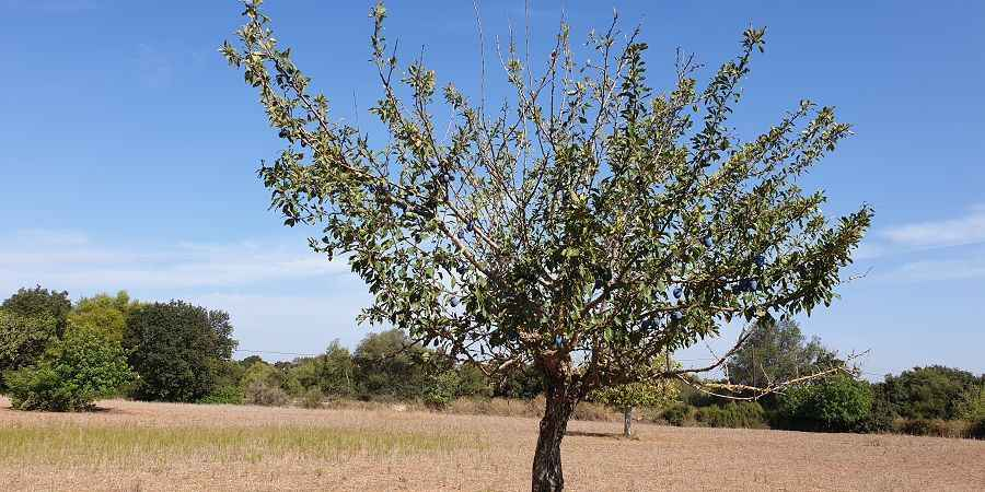 LOVELY LARGE PLOT WITH PLENTY OF TREES AND GREAT VIEWS CLOSE TO PORTO COLOM
